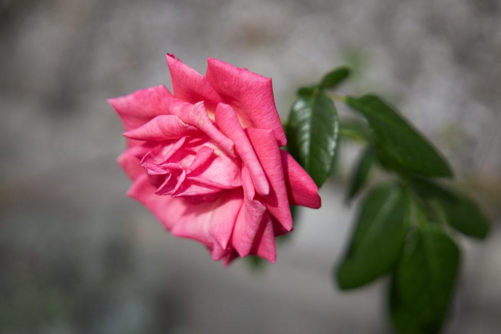 Aufnahme einer rosafarbenen Rosenblüte.